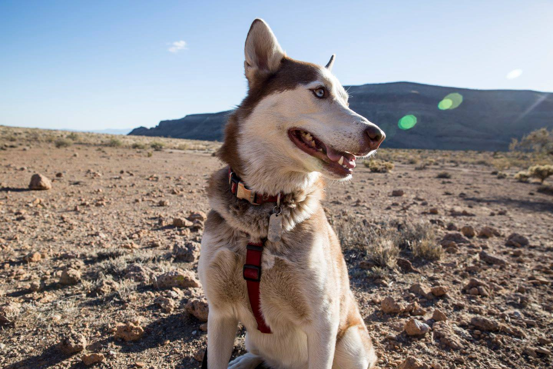 Gozer Enjoying the Mojave Desert.